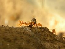 Many fire ants carrying an insect stock image