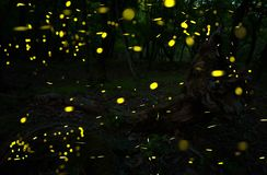 Many fireflies in the summer at the fairy forest. royalty free stock images
