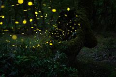 Many fireflies in the summer at the fairy forest. stock photo