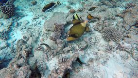 Many fish look for food. Between the corals stock video footage