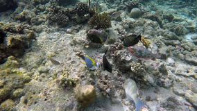 Many fish are looking for food. In the reef stock video