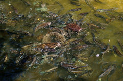 Many fish in pond Royalty Free Stock Photos