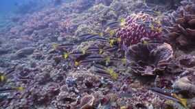Many fish on seabed in underwater world of wildlife Philippines. Deep sea diving. Travel in world of unique colorful beautiful ecosystem nature. Wild wonderful stock video