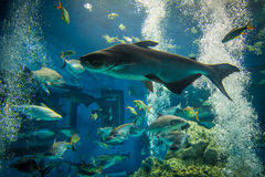Many fish are showing in the large aquarium. Royalty Free Stock Photography