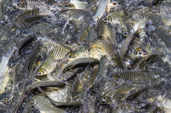 Many fish are spoiling food Royalty Free Stock Photography