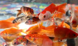 Many fish swim in a small aquarium. In a pet shop royalty free stock image