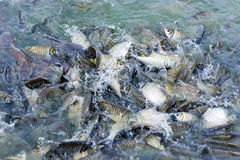 Many fishes are fight over for food Royalty Free Stock Photos
