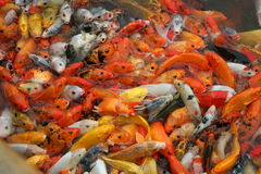 Many fishes scramble for food Stock Photo