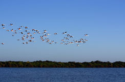 Many flamingos on the sky Stock Photo
