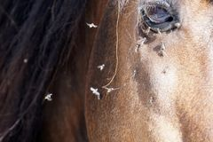 Many flies fly on horse eye. Detail close up royalty free stock images