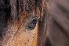 Many flies fly on horse eye. Detail close up stock images