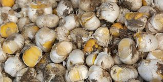 Flower bulbs for sale in the specialized florists market. Many flower bulbs for sale in the specialized florists market Stock Photos