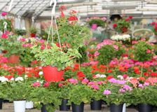 Flower pots in the florist's large glasshouse for sale Stock Image