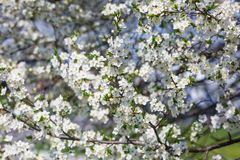 Many flowering branches of cherry royalty free stock photos