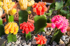 Many flowering cacti in pots, close-up Royalty Free Stock Images
