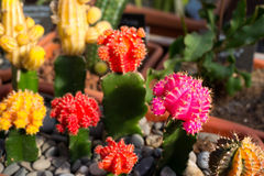 Many flowering cacti in pots, close-up Royalty Free Stock Image