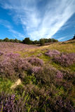 Many flowering heather Royalty Free Stock Photography