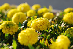 Many flowering marigold. Many flowering yellow marigolds with lush inflorescences Royalty Free Stock Photography