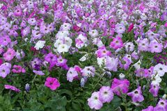 Many flowering petunias in shades of pink. Many flowering petunias in various shades of pink stock images