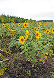 Many flowering sunflowers on a field Stock Image