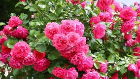 Many flowers of beautiful pink roses