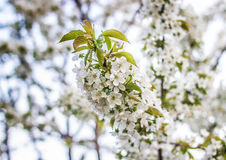 Many flowers on a cherry branch Stock Photo