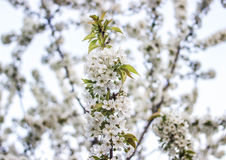 Many flowers on a cherry branch Royalty Free Stock Photos