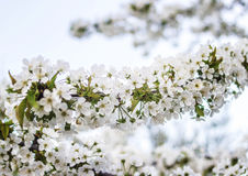 Many flowers on a cherry branch Stock Photography