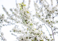 Many flowers on a cherry branch Stock Image