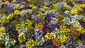 Many flowers: colorful pansies. stock footage