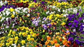 Many flowers: colorful pansies.