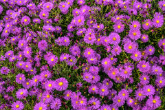 Many flowers colorful violet aster alpinus Royalty Free Stock Images