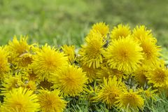 Dandelion flowers lying in the grass Stock Image