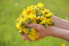 Many flowers of dandelions in the palms Royalty Free Stock Photography