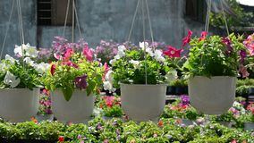 Many flowers in garden. Many flowers hanging for sale at the garden during Lunar New Year in Mekong Delta, southern Vietnam stock footage