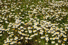 Many flowers on the grass Royalty Free Stock Photography