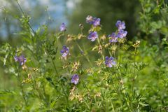 Many flowers of meadow cranesbill {Geranium pratense} bloom on a green meadow in the forest. Summer landscape. Many flowers of meadow cranesbill {Geranium stock image