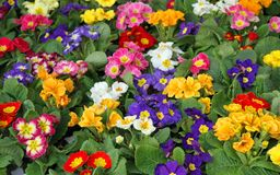 Many flowers primula spring in wholesale 2 Royalty Free Stock Photography