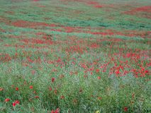Many flowers of a red poppy on the background of a field.  stock photos
