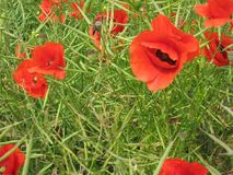 Many flowers of a red poppy on the background of a field royalty free stock photo
