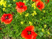 Many flowers of a red poppy on the background of a yellow rapeseed Brassica napus  field stock images
