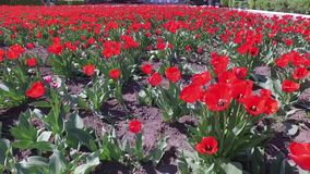 Many flowers. Red tulips field close up. Many flowers stock video footage