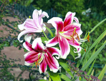 Many flowers of red and white  lilies Stock Photos