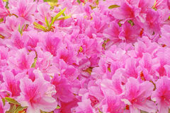 Many flowers of Rhododendron. Royalty Free Stock Images