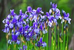 Many flowers of the Siberian iris Royalty Free Stock Photo