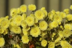 Many flowers of yellow chrysanthemums Stock Photos