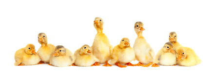 Many fluffy baby ducklings Royalty Free Stock Photos