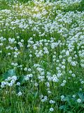 Dandelions cover grass field royalty free stock photo