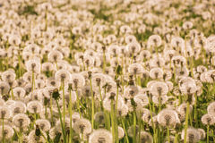 Many fluffy dandelions Royalty Free Stock Photography