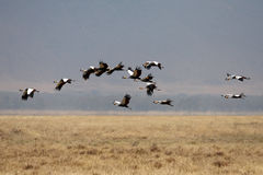 Many flying birds in Africa savanna Royalty Free Stock Photography